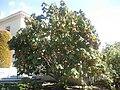 Gardenology.org-IMG 1985 hunt0903.jpg