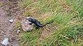 Gargellen-Valzifenztal-Salamandra lanzai-01.jpg