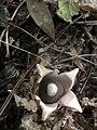 Geastrum saccatum 27374967.jpg