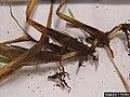 Geaumannomyces graminis var. graminis at Stenotaphrum secundatum (05).jpg