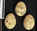 Gelochelidon nilotica MWNH 0396.JPG
