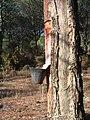 Gemmage of Pinus in Portugal.jpg
