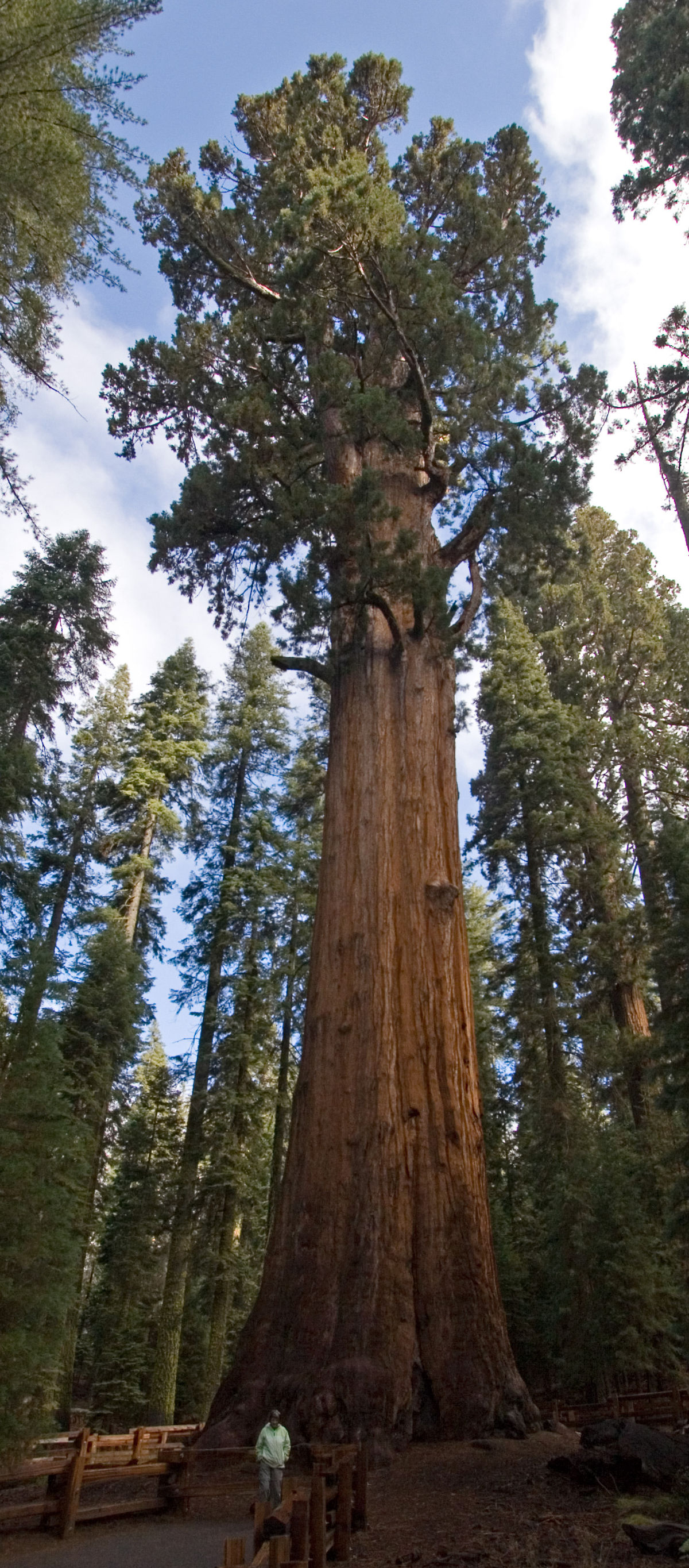 Trees Of Santa Cruz County Nyssa Sylvatica: List Of Largest Giant Sequoias