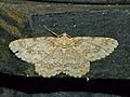 Geometrid Moth (Cleora determinata ?) female (15682196305).jpg