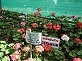 Geranium single from Lalbagh flower show Aug 2013 7907.JPG