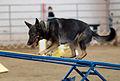German Shepherd Dog agility teeter closeup.jpg