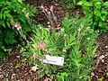 Geum triflorum - Tower Hill Botanic Garden.JPG