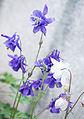 Gewöhnliche Akelei (Aquilegia vulgaris) (18782053551).jpg