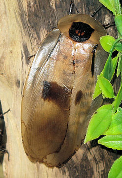 Giant brazilian cockroach closeup arp.jpg