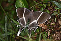 Giant uranid moth (Lyssa menoetius).jpg