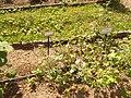 Giardino botanico di Brera (Milan) 340.jpg
