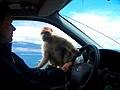 Gibraltar Barbary Macaque on a car.jpg