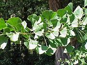 Ginkgo-Zweig mit fächerförmigen Blättern.