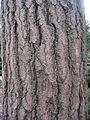 Ginkgo biloba textura del tronco.jpg