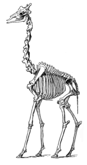 Giraffe skeleton as illustrated by Richard Lydekker.