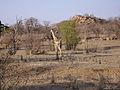 Giraffe (Giraffa camelopardalis) (8604281266).jpg