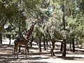 Giraffe at Badoca Safari Park.jpg