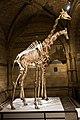 Giraffe skeleton (39921295781).jpg