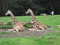 Giraffes at the San Francisco Zoo - panoramio.jpg