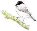 Glanskopmees Poecile palustris Jos Zwarts.tif