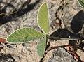 Glycine falcata leaf.jpg