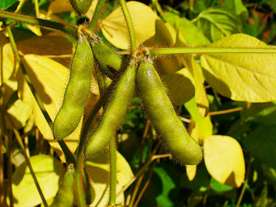Soya bean fruit Glycine max 003.JPG