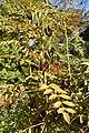 Glycyrrhiza glabra (Zoethout) 2.jpg