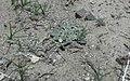 Glyptopleura marginata in SW Idaho.jpg