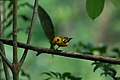 Golden Tanager 2015-06-07 (2) (25446109157).jpg
