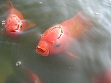Los Goldfish 220px-Goldfishes