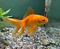 Goldfishorange.jpg