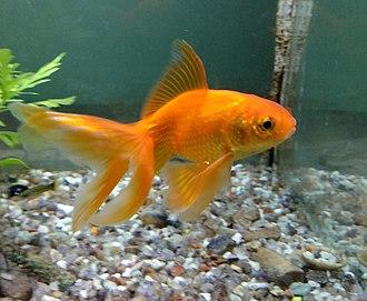 Fantail (goldfish) - A orange fancy fantail goldfish.