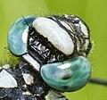 Gomphus vulgatissimus eyes 004b.jpg