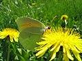 Gonepteryx Rhamni 2.jpg