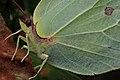Gonepteryx rhamni (36872076855).jpg