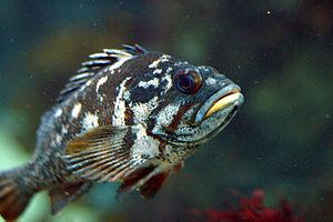 Sebastidae - Gopher rockfish, Sebastes carnatus