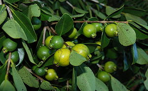 Guava - Yellow-fruited cherry guava, (sometimes called lemon guava)  Psidium littorale var. littorale