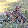 Gpa bill coyote pups 2.jpg
