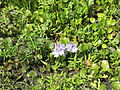 Grand Bay Wetlands Management Area water hyacinth.JPG