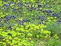 Grape Hyacinths and Euphorbia 01 (2475792266).jpg