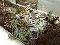 Graptopetalum paraguayense - Orto botanico - Rome, Italy - DSC00007.jpg