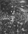 Grass of Parnassus, Olympic National Forest - NARA - 299023.tif