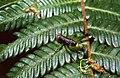 Grasshopper (Psiloscirtus sp. ?) (36060709244).jpg