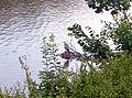 Graureiher am Neckarufer.jpg