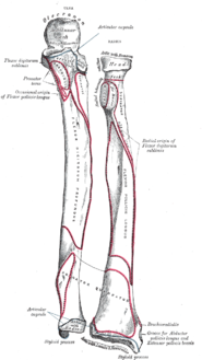 Bones of left forearm. Anterior aspect.