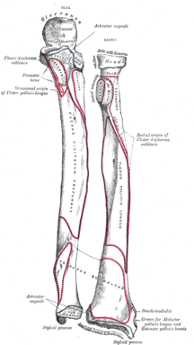 Vänster underarmsben, framsida. Illustration: Gray's Anatomy, 1918. (PD)