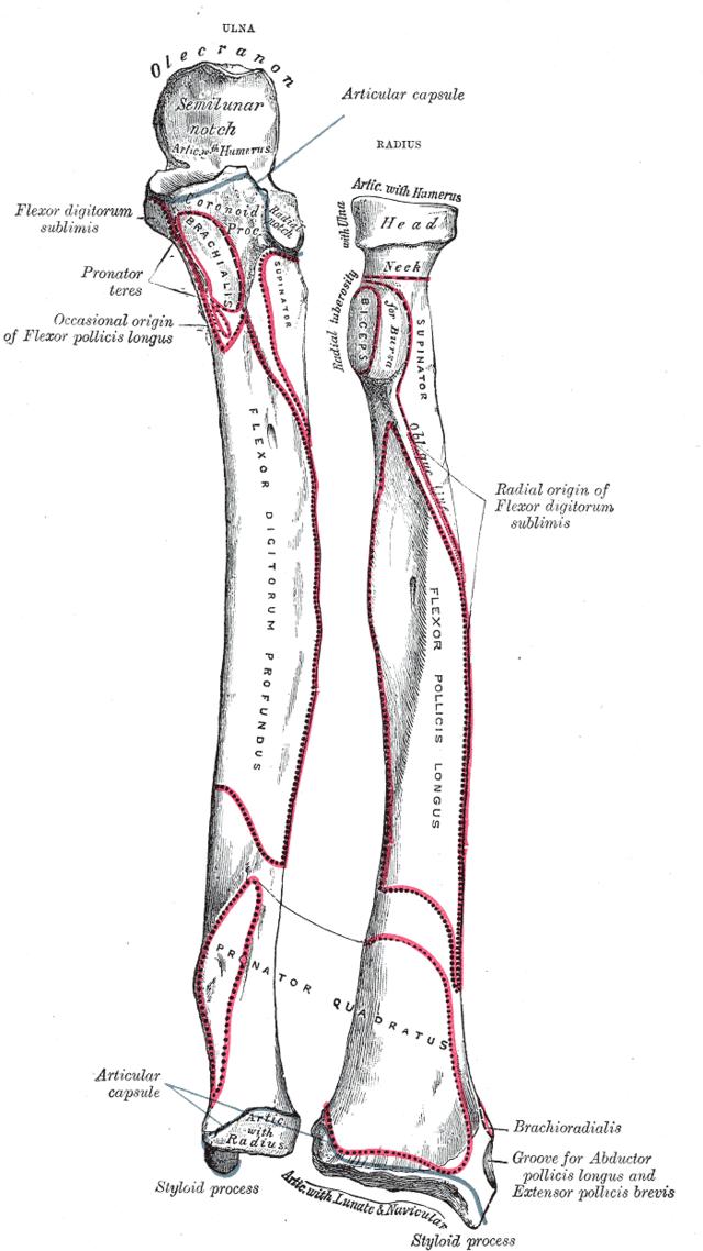 radius knogle