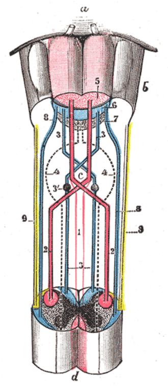 Gracile nucleus - Image: Gray 680