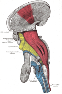 Pyramidal tracts include both the corticobulbar tract and the corticospinal tract