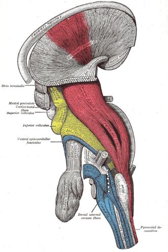 Internal capsule - Image: Gray 684